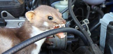 Jak walczyć z gryzoniami w samochodzie?
